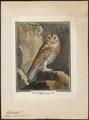 Syrnium aluco - 1700-1880 - Print - Iconographia Zoologica - Special Collections University of Amsterdam - UBA01 IZ18400141.tif