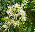 Syzygium cumini, asiatic A MYRTACEA - Jambu de java -.jpg
