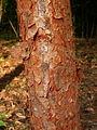 Syzygium gratum trunk.JPG