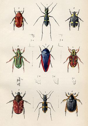 Entomology - Plate from Transactions of the Entomological Society, 1848
