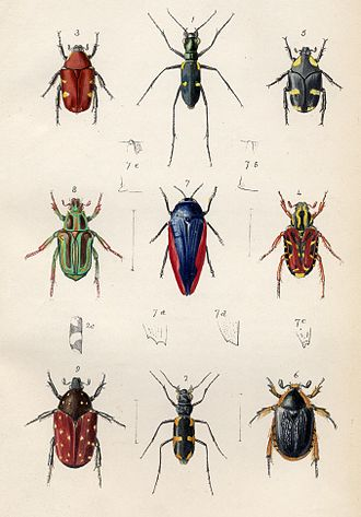 Entomology - Plate from Transactions of the Entomological Society, 1848.