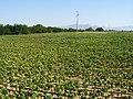 Tabaksplantage Struga.JPG