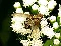 Tachinid Fly (31789098116).jpg