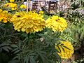 Tagetes patula(yellow) in bd 01.jpg