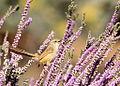 Tawny-flanked Prinia (Prinia subflava) on Nylandtia spinosa (tortoise berry) - Polygalaceae (7631936244).jpg