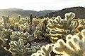 Teddybear cholla (Cylindropuntia bigelovii); Cholla Cactus Garden (16676024675).jpg