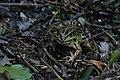 Teichfrosch Pelophylax esculentus 7713.jpg