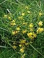 Teilweise verblühte Pflanze mit gelben Blüten.JPG
