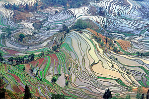 English: Terrace rice fields in Yunnan Provinc...