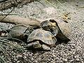 Testudo horsfieldii (mating).jpg