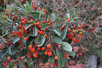 Arbutus xalapensis - Image: Texas Madrone in Guadalupe Mountains