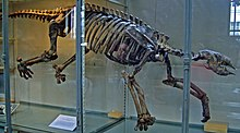A sloth skeleton with its back legs thrust backwards running parallel to each, and the left-front leg is thrust forward while the right-front leg is thrust backward.