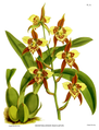 The Orchid Album-02-0015-0052-Odontoglossum maculatum.png