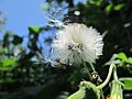 The beauty of Dandelion flower.jpg