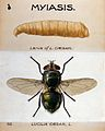 The larva and fly of a greenbottle (Lucilia caesar). Coloure Wellcome V0022569.jpg