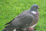 The world's largest woodpigeon.jpg