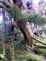 Thin Cyathea Mount Gower summit.jpg