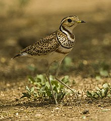 Three-banded ( Heuglin's ) Courser.jpg
