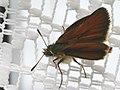 Thymelicus sylvestris - Small skipper - Толстоголовка лесовик (41001405351).jpg