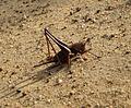 Thyreonotus bidens - Flickr - gailhampshire.jpg