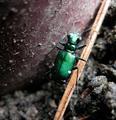 Tiger beetle (5728214557).png