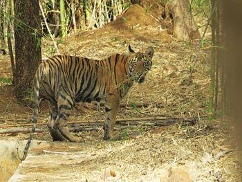 Tiger cub tadoba.jpg