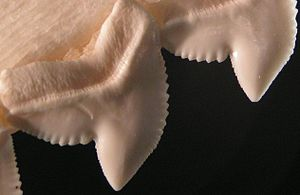 Serration - The serrated edges of tiger shark teeth