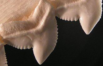 Serration - The serrated edges of tiger shark teeth