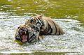 Tigers jeethendrasaran.jpg