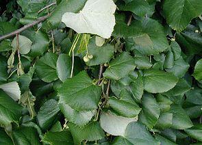 Silber-Linde (Tilia tomentosa)
