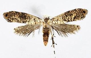 <i>Tinissa apicimaculata</i> Species of moth