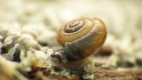 File:Tiny Snail Eating Slime Mould (video).webm