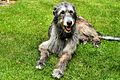 Tommy - Irish Wolfhound (14487067883).jpg