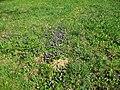 Trávník a fialky.jpg
