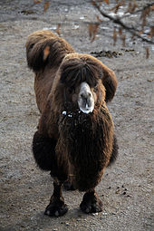 Trampeltier (Camelus ferus) Zoo Salzburg 2014 b.jpg