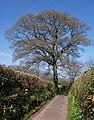 Tree, Higher Gabwell - geograph.org.uk - 754866.jpg