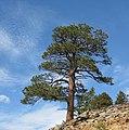 Tree - leaving Lower Echo Lake (3072636180).jpg