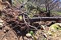 Tree Blocking the levada path from Quatro Estrada to Camacha - Apr 2013.jpg