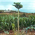 Tree cabbage.jpg