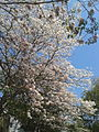 Tree with only flowers in Chennai 05.jpg