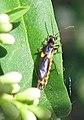 Trypherus latipennis.jpg