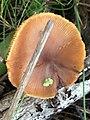 Tubaria furfuracea 61489906.jpg