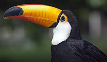 Photo of a toucan with a long, bright bill