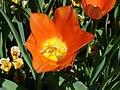 Tulip-6519.jpg