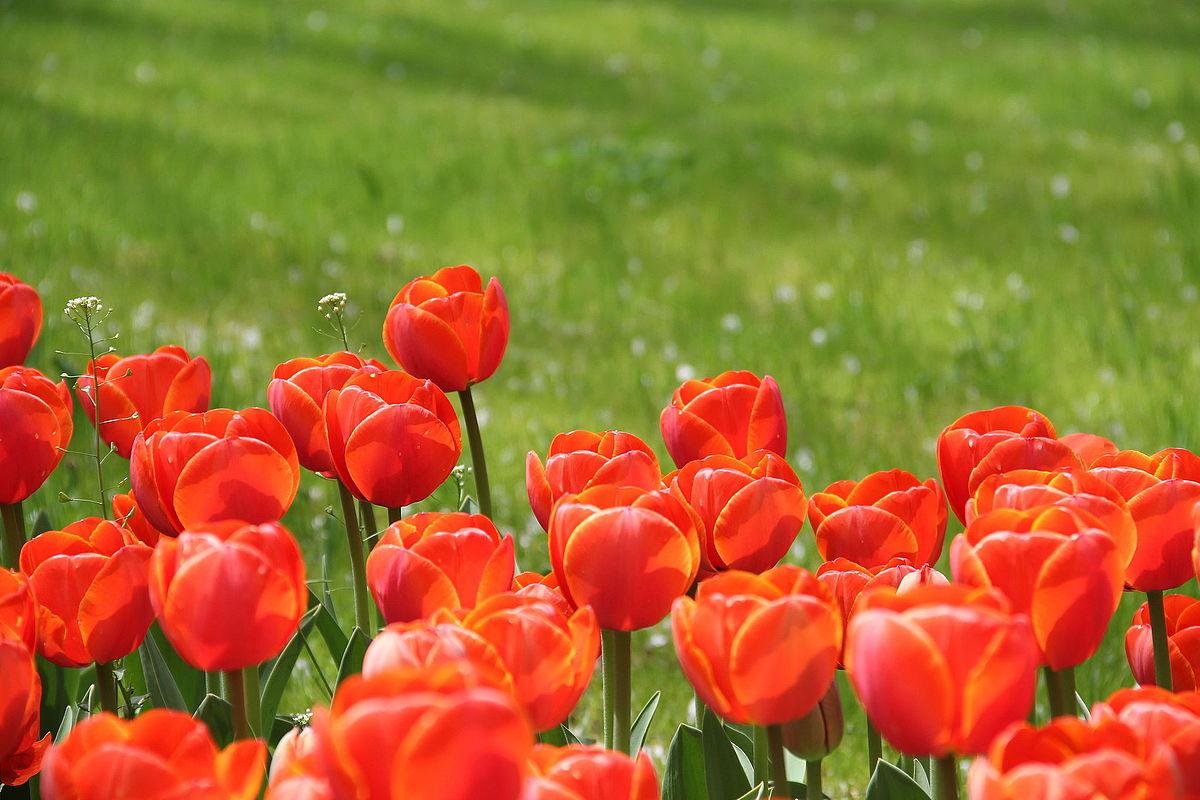 Tulipa cultivars by alphabet - Wikimedia Commons
