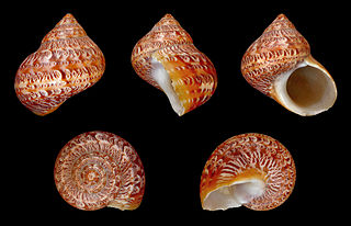 <i>Turbo reevei</i> Species of gastropod