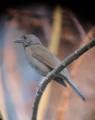 Turdus leucomelas Mirla buchiblanca Pale-breasted Thrush (32855476640).png