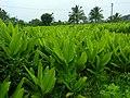 Turmeric farm in Chamarajanagar District IMG20170828084210.jpg