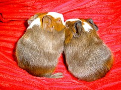 Two Guinea Pigs Snuggling.jpg