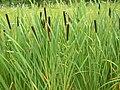 Typha latifolia 02 bgiu.jpg